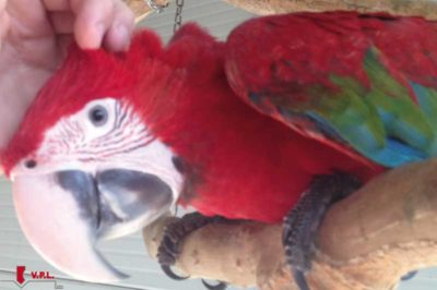 voliera per pappagalli auralia