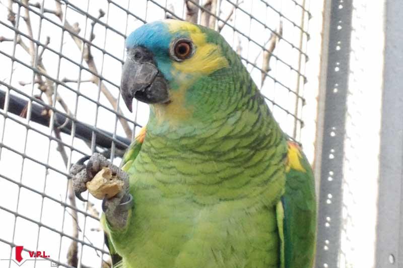 voliera per pappagalli fronte blu